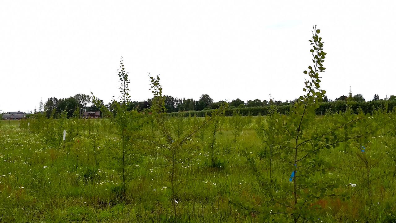 Suedia experimentează plopii MG pentru producția de bioetanol