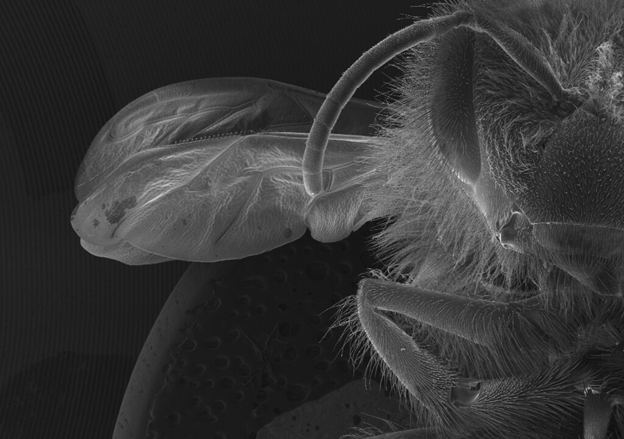 SEM image of honeybee taken taken at the Umeå Centre of Electron Microscopy (UCEM). Photo: Cheng Choo Lee, Natuschka Lee