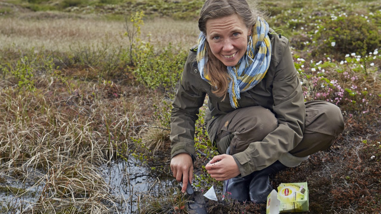 Judith Sarneel is burying teabags in a research project to measure the level of decomposition after three months.