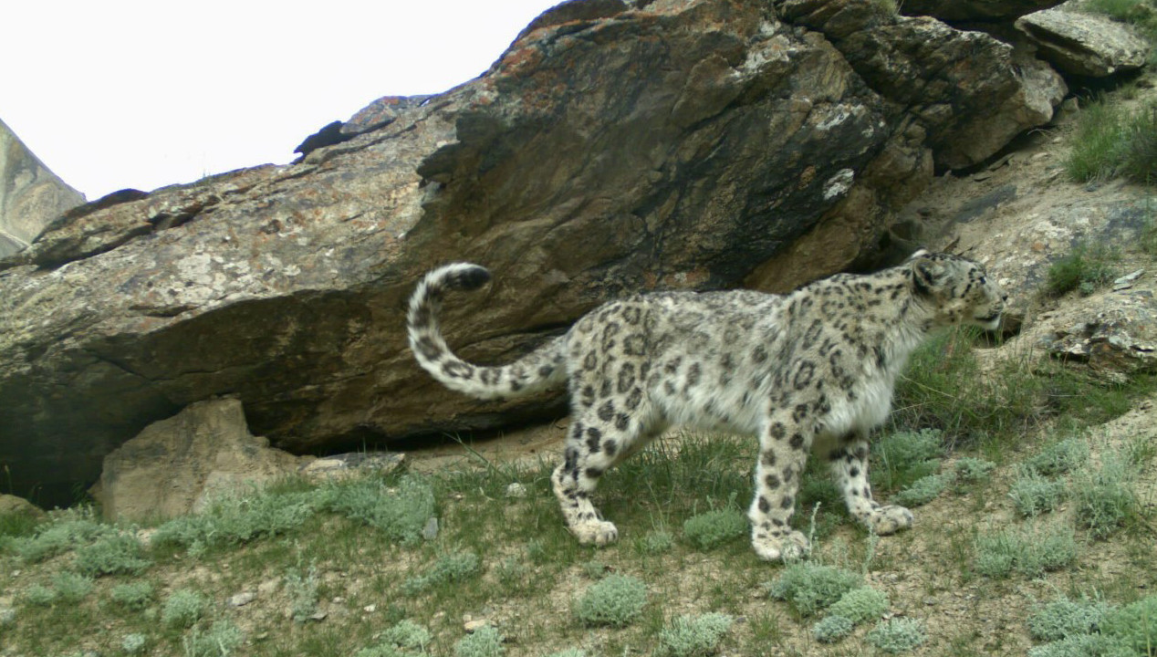 Photo of snow leopard in Kyrgyzstan.